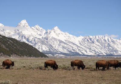buffalo in front of snowy mountains